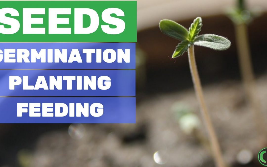 How to Grow Cannabis Seeds (Germination, Planting, + Feeding)