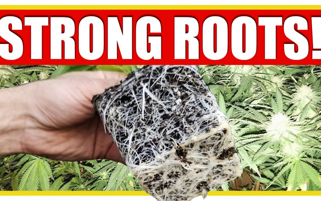 5 Tips to Grow Strong and Healthy Cannabis Roots
