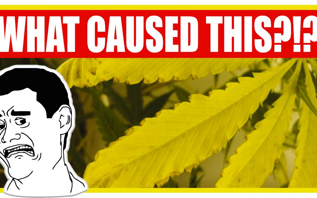 Why Cannabis Leaves Turn Yellow & How to Fix It